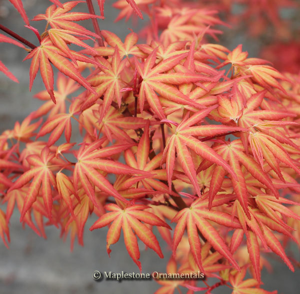 Kawahara Rose - Japanese Maples