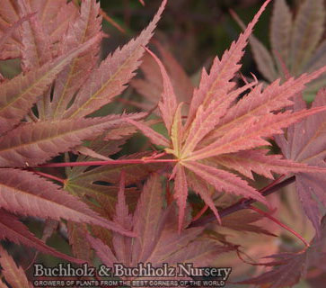 Kinran - Japanese Maples