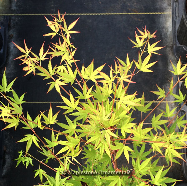40 Bonsai Japanese Maples For Sale Acer Palmatum