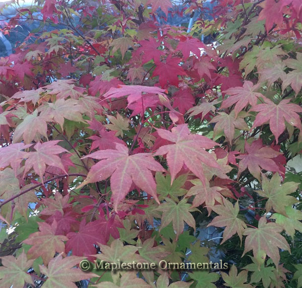 Korean Gem - Japanese Maples