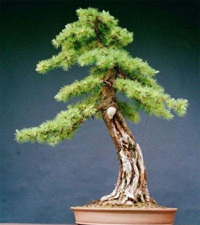 28 Bonsai Japanese Maples For Sale Acer Palmatum