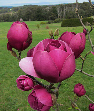 Magnolia Black Tulip - Other Trees