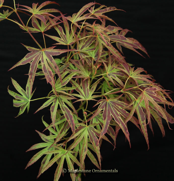 Manyo no sato - Japanese Maples