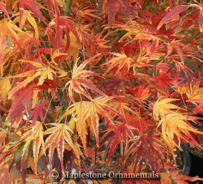 Acer Palmatum Mikawa Nishiki Japanese Maples