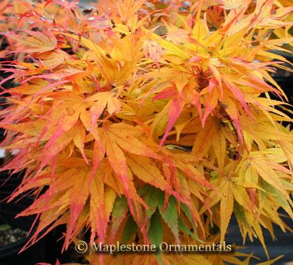 Acer Palmatum Mikawa Yatsubusa Japanese Maples Palmatum