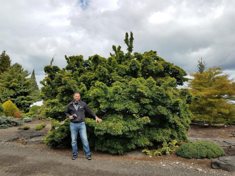 Acer Palmatum Mikawa Yatsubusa Japanese Maples