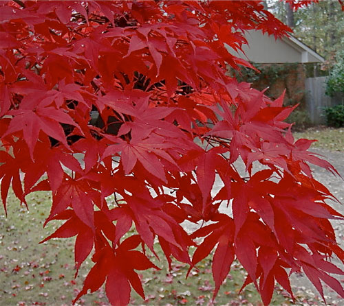Moonfire - Japanese Maples