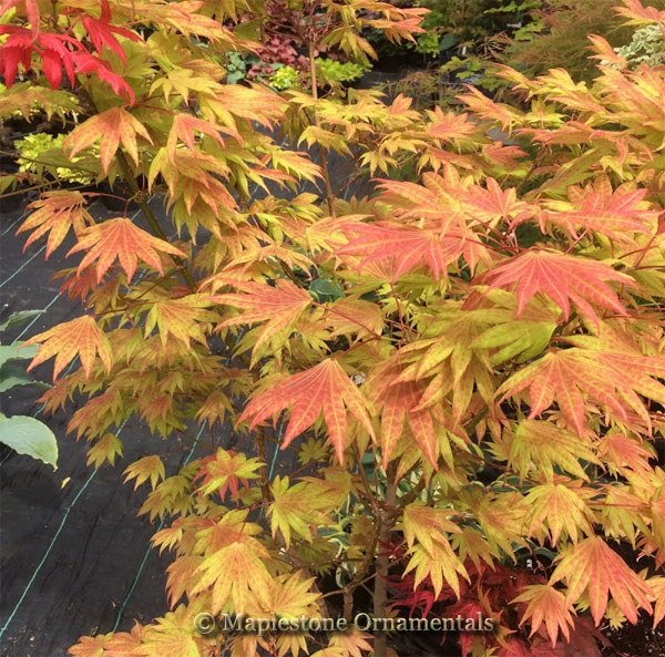 Moonrise - Japanese Maples