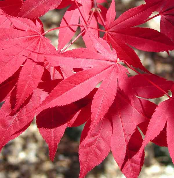 Mussashino - Japanese Maples