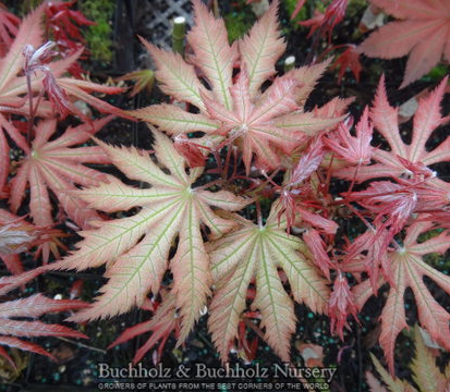 Nebula - Japanese Maples