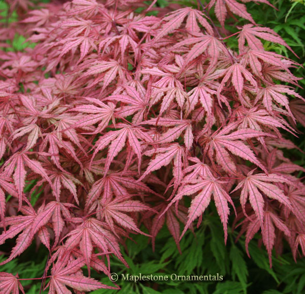Olsen's Frosted Strawberry - Japanese Maples