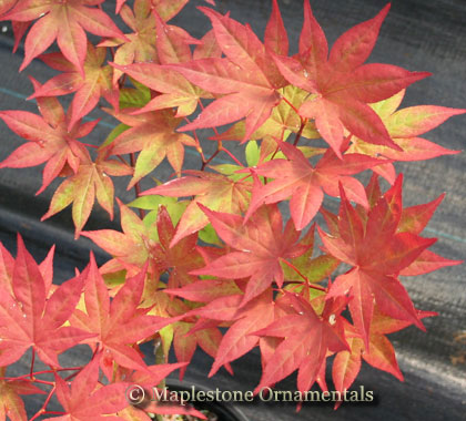 Omato - Japanese Maples