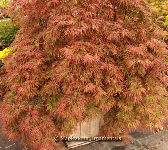 Orangeola - Japanese Maples