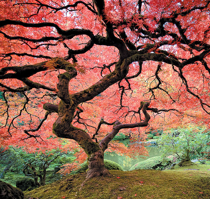 Ornatum - Japanese Maples