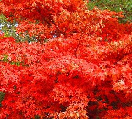Osakazuki - Japanese Maples
