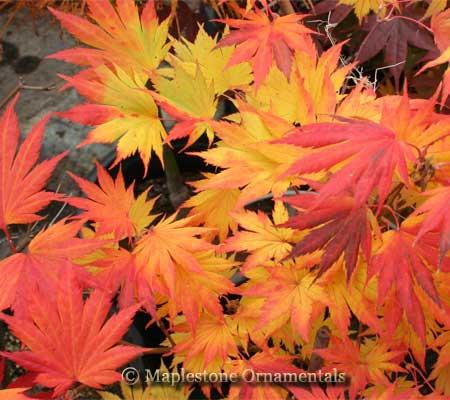 """Резултат с изображение за Acer Shirasawanum """"Palmatifolium"""