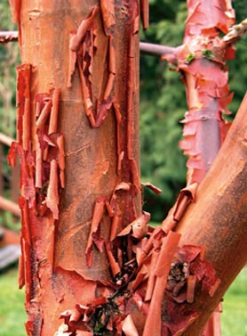Paperbark Maple - Japanese Maples