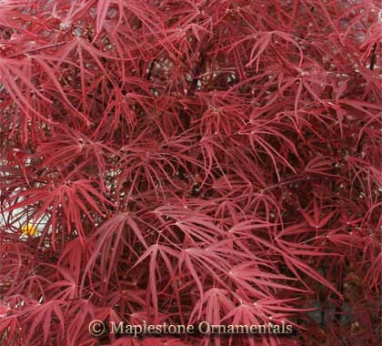 Pung Kil - Japanese Maples
