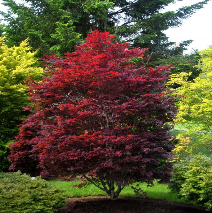 Red Baron - Japanese Maples