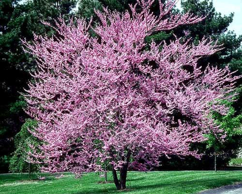Eastern Redbud - Other Trees