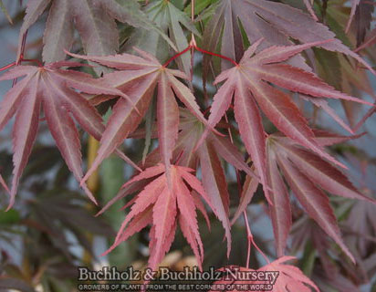 Red Dawn - Japanese Maples