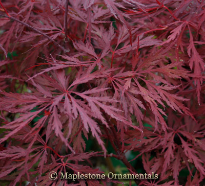 Red Dragon - Japanese Maples