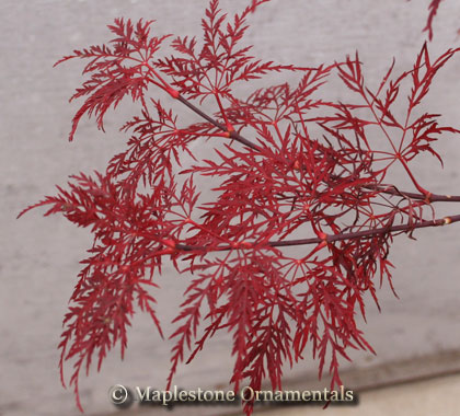 Red Feathers - Japanese Maples