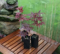 Deciduous - Red Japanese Maple