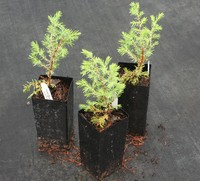 Conifers - Gold Cone