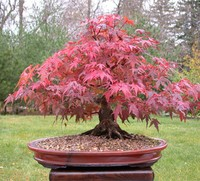 Example of a mature bonsai