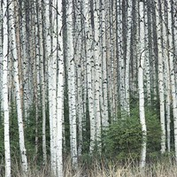 Deciduous - Whitespire Birch