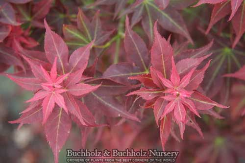 Acer Palmatum Ruby Stars Japanese Maples Palmatum