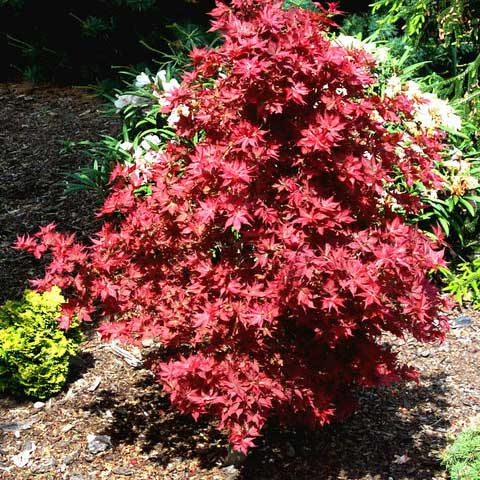 Ruby Stars - Japanese Maples