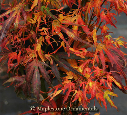 Ryoku ryu - Japanese Maples