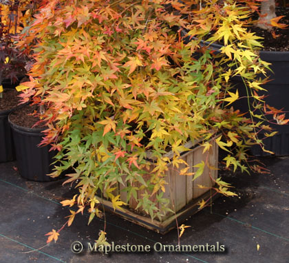 Ryusen - Japanese Maples