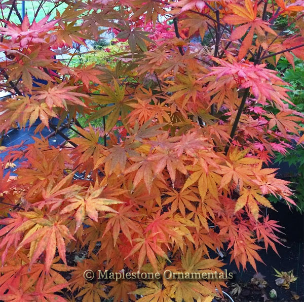 Seasons of Change - Japanese Maples