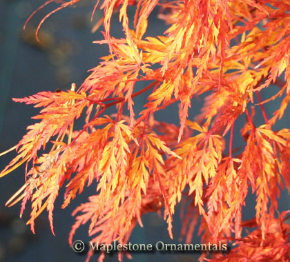 Seiryu - Japanese Maples