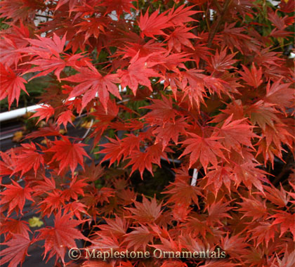 Sensu - Japanese Maples