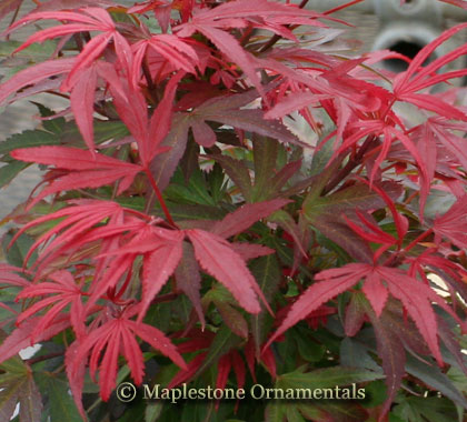 Shaina - Japanese Maples