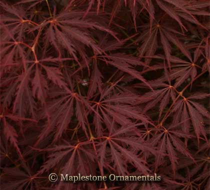Sherwood Elfin - Japanese Maples
