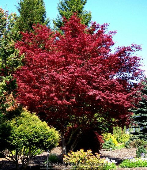 Rare Japanese Maples For Sale Maplestone Ornamentals