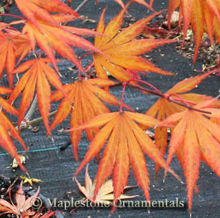 Shira Red - Japanese Maples