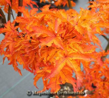 Acer Palmatum Shishigashira Japanese Maples Palmatum