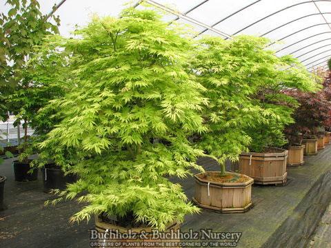 Acer Palmatum Sister Ghost Japanese Maples Palmatum