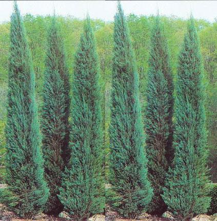 Rare Conifers For Sale Maplestone Ornamentals