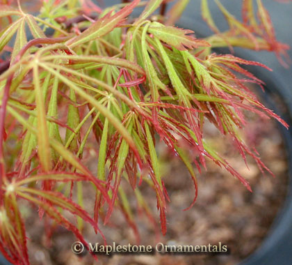 Spring Delight - Japanese Maples