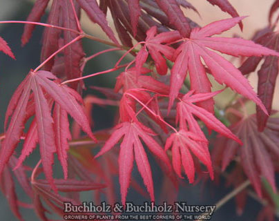 Spring Plum - Japanese Maples