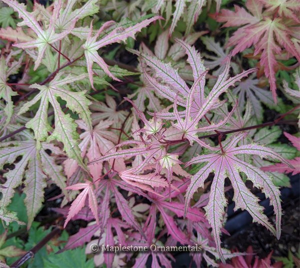 Strawberry Spring - Japanese Maples
