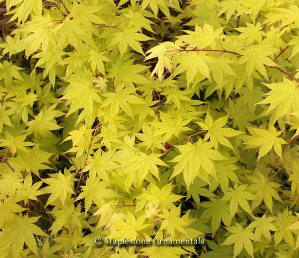 Summer Gold - Japanese Maples