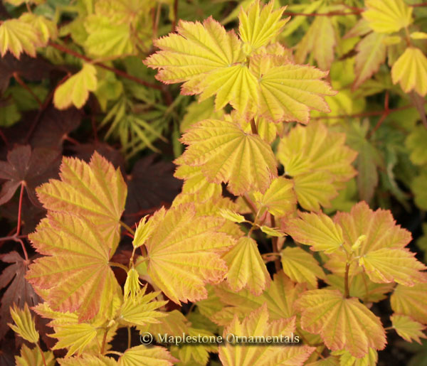 Sunglow - Japanese Maples